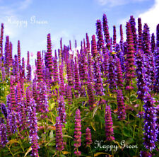 GIANT HYSSOP - 1200 SEEDS - Agastache Mexicana Lavender Blue - Perennial flower