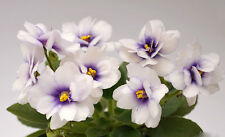 Rob's Loose Noodle  Pflanze/Plant Usambaraveilchen African Violet Saintpaulia