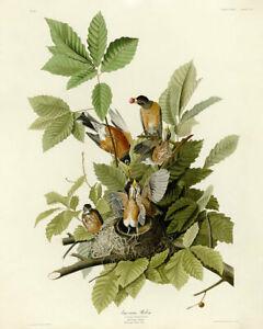 John Audubon Print - American Robin