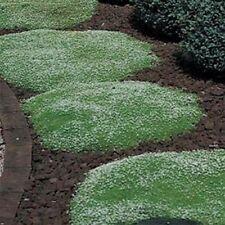 Irish Moss- Sagina Subulata-100 Seeds