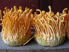 Cordyceps Sinensis MUSHROOM Mycelium 10.000 + fresh seeds Spores $9.9O