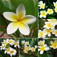 100PCS/Bag Plumeria Plants Flowers Frangipani Hawaiian Lei Flower Seeds New GUT