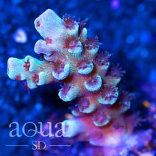 Asd - 005 Space Shark Acropora - Wysiwyg - Aqua Sd Live Coral Frag