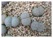 50 semi di Lithops karasmontana aiaisensis PV125, sassi viventi, semi succulente