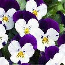 Viola - Penny White Jump Up - 15 Seeds