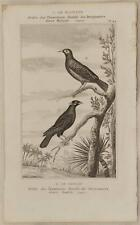 BUFFON ORIGINALE 1850 MERLO PARLANTE MYNAS MAINATE UCCELLI ORNITOLOGIA BIRDS