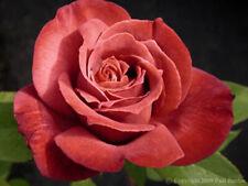Rose Black Tea- 5 dormant cuttings- rare and unusual