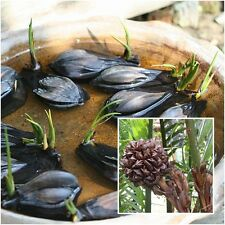 Nypa fruticans Wurmb 3 Seedlings Nypa Atap palm Nipa palm Mangrove palm Rare
