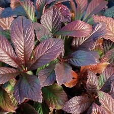 RODGERSIA BRONZE PEACOCK UNUSUAL WOODLAND/SHADE GARDEN CONTAINER PLANT