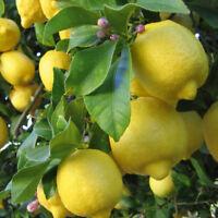 Yellow Lemon Tree Seeds High Survival Rate Bonsai Fruit Seeds Bonsai Lemon Seed