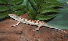 "Real Taxidermy Top Quality Lifelike 5-5/8"" Common Sandfish Skink Lizard Reptile"