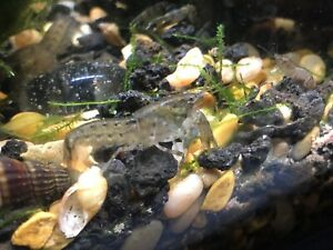 4+1 Dwarf mexican crayfish (cambarellus Texanus) Freshwater