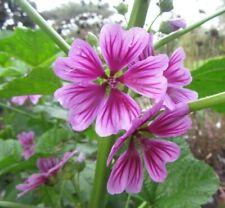 Hollyhock Zebrina Flower Seeds (Malva Sylvestris) French Hollyhock 20+Seeds