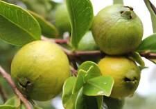 Yellow Strawberry Guava, Psidium cattleyanum var. Lucidum, 30 seeds