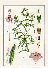 200 Semillas de Ajedrea de jardín (Satureja hortensis) seeds