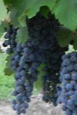Merlot Red Wine Grape Vine 3 gallon Live Plant Home Garden Easy to Grow Grapes