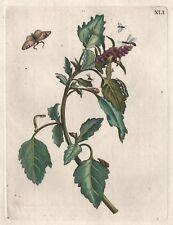 Maria Sibylla Merian-planta con insectos precioso grabado aproximado 1730