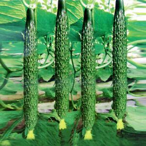 1 bag of 20+ Oriental Chinese TianJin Huanggua Cucumber Seeds 中国天津黄瓜,2020新种子