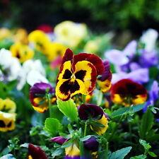 50pcs Big Flower Pansy Seeds Viola Tricolor Original Packaging Flower Seed