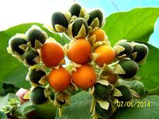 goldgelbe Tamarillo BAUM-TOMATE, kleine Früchte, Blätter duften wie Erdnuss,