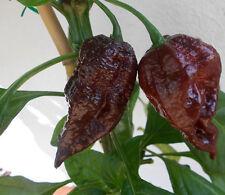 Trinidad SCORPION-Cioccolato/Chocolate - 10 semi HOT XXL estremamente tagliente rarità