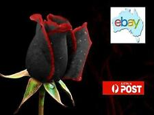 RARE BLACK ROSE WITH RED TIP EDGES 100PK OF SEEDS - AUS STOCK