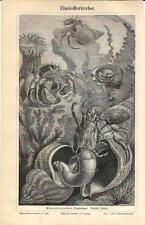 Stampa antica PAGURO HERMIT CRAB animali marini 1890 Old antique print