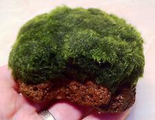 Marimo Moss Growing on Lava Rock Live Aquarium Plants Java Shrimp