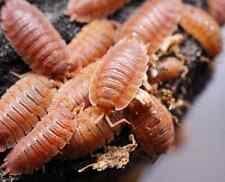 25 GIANT ORANGE WOODLICE BIO-ACTIVE CLEAN-UP CREW bugs invert Porcellio laevis