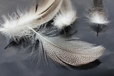 30 pcs/lot Natural Barred Mallard Duck Flank Feathers Wild Goose Hair Wings Tail