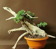 Bonsai tree tanuki needle semi trained updated photo 2 june