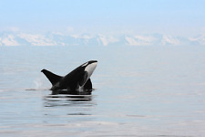 "Orca- Killer Whale - Wildlife Animals Photo Art - Canvas Giclee Print 24"" x36"""