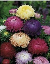 Aster Flower Seeds Peony Mix annuals from Ukraine