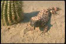 160084 Gila Monster Lizard Eating Mouse A4 Photo Print
