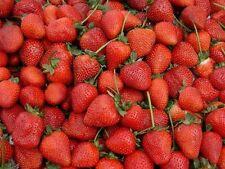 Erdbeeren 50 Samen *Großfruchtig/Süß/Wohlschmeckend* Super Ertrag und Winterhart