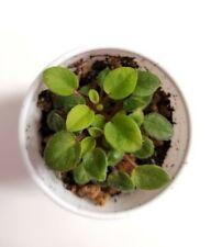 African Violet Opera Doc - Starter Plant/Plug