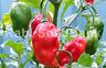 Carolina Reaper + Bhut Jolokia, Ghost Cross Chilli - 10 Australian Grown Seeds!