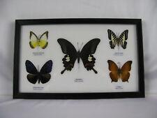 5 echte exotische Schmetterlinge im Schaukasten - einmalig und wunderschön q 03