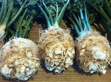 CELERIAC WHITE ALABASTER (Apium Rapaceum) HEIRLOOM X 500 Seeds