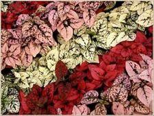 "25+ HYPOESTES POLKA DOT PLANT ""SPLASH"" FLOWER SEEDS MIX / SHADE LOVING ANNUAL"