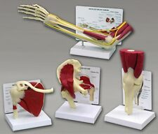 Knee Hip Shoulder Elbow Muscled Bone Joint GPI Anatomical Model Set #4016 SAVE!