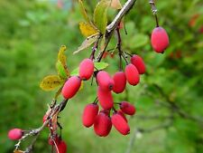 30 SEMI DI Berberis vulgaris L.