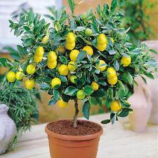 Zitronenbaum, Bonsai geeignet 10 Samen Deko best