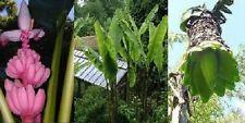 3 winterharte Bananen-Giganten selbst anziehen Samen schnellwüchsige Laubgehölze