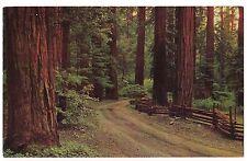 REDWOOD FOREST Highway TREES Hundreds Feet Tall  CALIFORNIA  Postcard CA