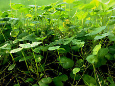 Gotu kola ( Centella asiatica ) * 1 PLANT * NEW!