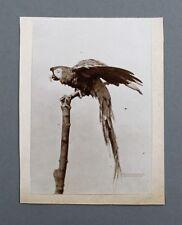 OTTOMAR ANSCHÜTZ FOTO PAPAGEI REAL PARROT PHOTO 1889