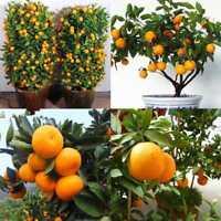 30X Obst Mandarine Citrus Orange Bonsai Baum Samen Pflanzen Hausgarten Pfla F8D4