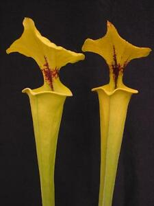Carnivorous Sarracenia flava var rugelii, Sandy Creek Road