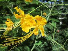 YELLOW FLOWER SEEDS *  PEACOCK ORCHID - CAESALPINIA PULCHERRIMA - PHOENIX